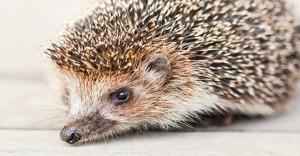 Hedgehog in Kingsbridge Garden